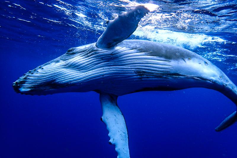 Bultrug walvis jong